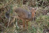 Dikdik, smallest antelope, Serengeti.