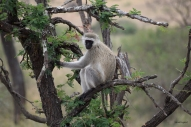Vervet monkey, Serengeti.