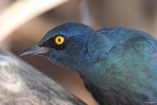 Cape Starling in trees around the waterhole, Okaukuejo, Etosha.