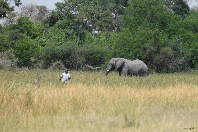 One of our mokoro polers sharing the water with a large elephant bull, Okavonga Delta.