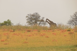 Giraffes in the Okavonga Delta.