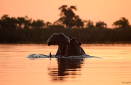 A yawning hippo near sunset time in the Okavonga Delta.