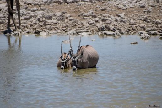 A couple of Oryx taking a bath/drink in the waterholde, Okaukuejo, Etosha National Park.