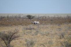 White Rhino in Etosha National Park.