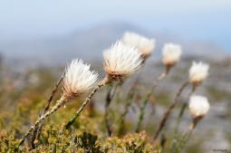 Flowers on the mountain, Table Mountain.