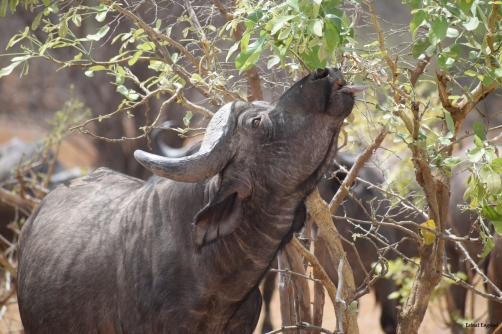 Buffalo feeding on leaves in South Luangwa National Park.