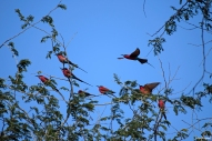 Carmine Bee Eaters in South Luangwa National Park (walking safari).