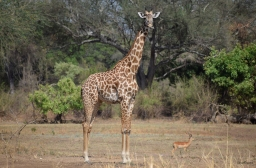 Giraffe and puku in South Luangwa (walking safari).