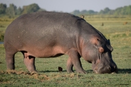 Hippo feeding on one of the islands in Chobe National Park.