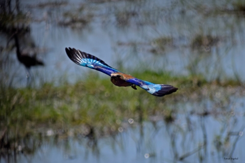 The beautiful Lilac Breasted Roller in Chobe National Park.