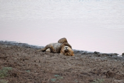 Full young male lion resting, South Luangwa.