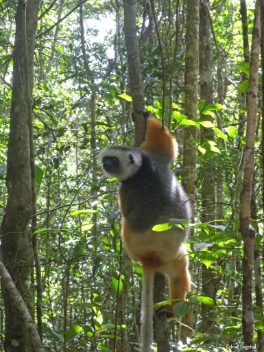 A Diadem Sifaka hanging out in Analamazaotra Reserve, Madagascar.