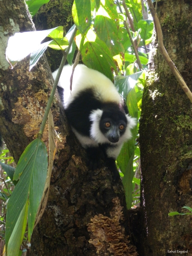 Another friend of mine, a Black-and-White Ruffed Lemur in Vakona Private Reserve.