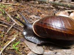Giant Land Snail from Andasibe-Mantadia National Park in Madagascar.