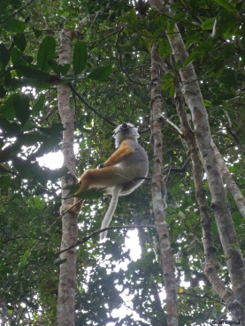 A diadem Sifaka sitting on a branch in Analamazaotra Reserve, Madagascar.