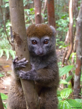 Bamboo Lemur looking for food in Vakona Private Reserve.