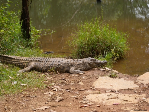 Crocodile in Vakona Private Reserve.