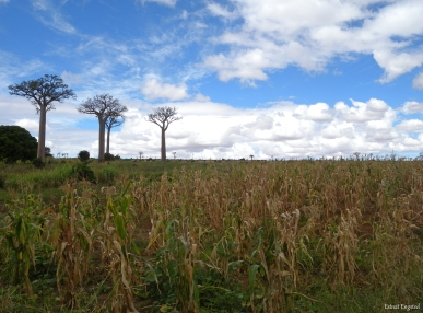 Baobab trees near Zombitse-Vohibasia National Park, Madagascar.