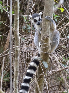 Ring-Tailed Lemur within Isalo National Park, Madagascar.