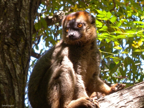 A Red-Fronted Brown Lemur in our lunch area in Isalo National Park, Madagascar.