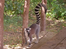 A Ring-Tailed Lemur within Anja Private Reserve, Madagascar.