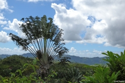 Flat-leafed palm tree on the scenic route going through the rainforesty mountains near Ranomafana, Madagascar.